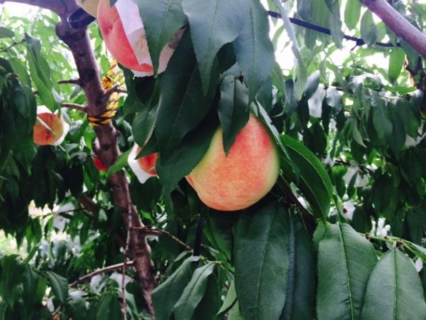 山梨で桃狩りするなら浅間園